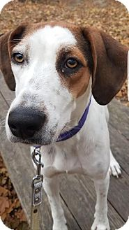 Treeing Walker Coonhound Mix Dog for adoption in Breinigsville, Pennsylvania - Georgia