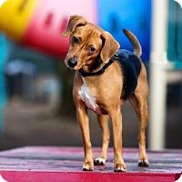 Adopt A Pet :: Liberty - Armonk, NY