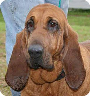 st augustine fl   bloodhound meet ellie a dog for