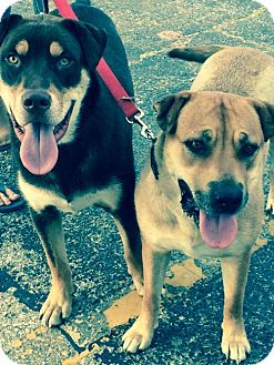 Rottweiler/Husky Mix Dog for adoption in Norman, Oklahoma - Clyde and Bonnie
