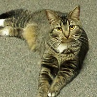 Domestic Shorthair Cat for adoption in Centreville, Virginia - Rochelle
