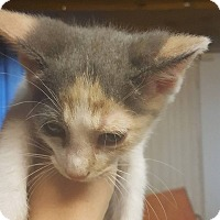 Domestic Shorthair Kitten for adoption in Hainesville, Illinois - Yija