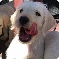 Adopt A Pet :: Whiskey - Porter Sue baby - Spartanburg, SC