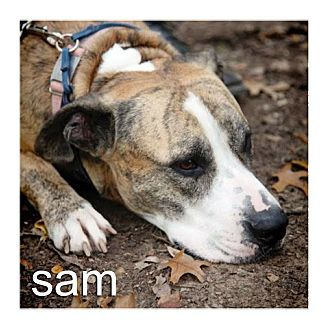 American Staffordshire Terrier/American Pit Bull Terrier Mix Dog for adoption in Dallas, Texas - Sam