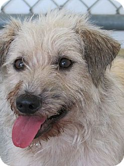 Wheaten Terrier Mix Dog for adoption in Memphis, Tennessee - JP