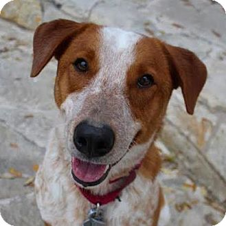Australian Cattle Dog Mix Dog for adoption in Austin, Texas - Max