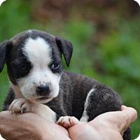 Adopt A Pet :: The 'D' Pups: Dante - Doylestown, PA
