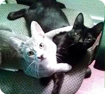 Domestic Shorthair Kitten for adoption in North Highlands, California - Blanket