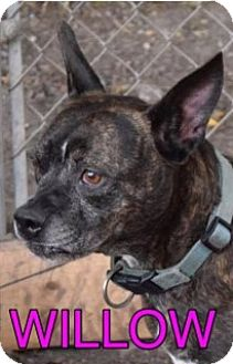 American Pit Bull Terrier Mix Dog for adoption in Saginaw, Michigan - Willow