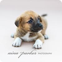 Australian Kelpie/Terrier (Unknown Type, Medium) Mix Puppy for adoption in Marietta, Georgia - Centipede