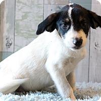 Adopt A Pet :: Henna - Waldorf, MD