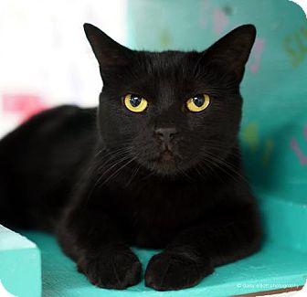 Domestic Shorthair Cat for adoption in Tucson, Arizona - Merci