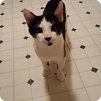 Domestic Shorthair Kitten for adoption in Breinigsville, Pennsylvania - Pixel