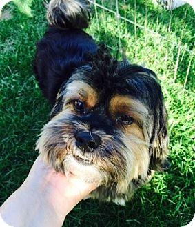 Yorkie, Yorkshire Terrier/Shih Tzu Mix Dog for adoption in Beavercreek, Ohio - Sammy