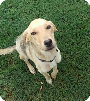 German Shepherd Dog Mix Dog for adoption in Mesa, Arizona - Diamond