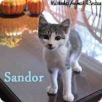 Adopt A Pet :: Sandor - Adorable Boy! - Huntsville, ON