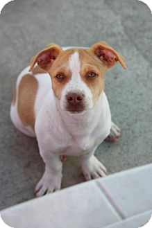 Terrier (Unknown Type, Small)/Beagle Mix Dog for adoption in Cranston, Rhode Island - Dan Fencher - ADOPTED