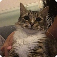 Adopt A Pet :: Ms. Kitty - Friendswood, TX