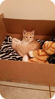 Domestic Shorthair Kitten for adoption in Fort Worth, Texas - Tucker