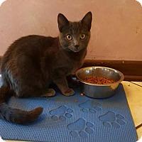 Adopt A Pet :: Felini - Schaumburg, IL
