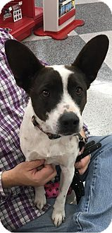 Jack Russell Terrier Mix Dog for adoption in Tucson, Arizona - Ian