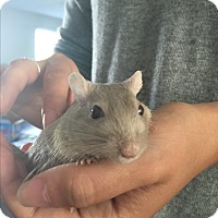 Adopt A Pet :: Tom & Jerry - Manhattan, KS