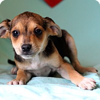 Adopt A Pet :: Joelle - Waldorf, MD