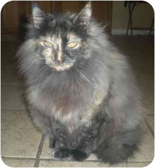 Maine Coon Cat for adoption in Summerville, South Carolina - Chloe
