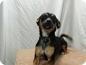 Miniature Pinscher/Chihuahua Mix Dog for adoption in Ogden, Utah - Ace