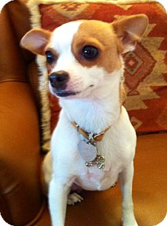 Rat Terrier/Chihuahua Mix Dog for adoption in El Cajon, California - TRIXIE, watch my video!