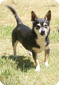 Chihuahua Mix Dog for adoption in Yuba City, California - 04/19 Sly