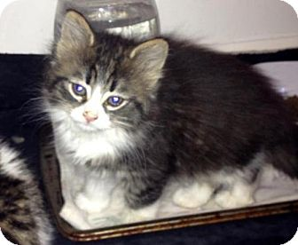 Domestic Mediumhair Kitten for adoption in Troy, Michigan - Princess Fielder