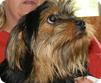 Yorkie, Yorkshire Terrier/Lhasa Apso Mix Dog for adoption in Clinton, Maine - Ben