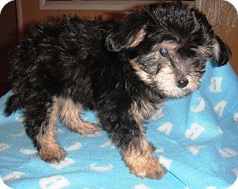 Toluce | Adopted Puppy | Santa Ana, CA | Lhasa Apso/Yorkie ...