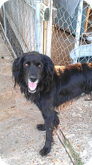 English Springer Spaniel/Border Collie Mix Dog for adoption in Eddy, Texas - Joey