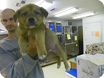 Shepherd (Unknown Type) Mix Puppy for adoption in Waldorf, Maryland - Pumba
