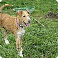 Adopt A Pet :: Scruffy (DC) - Brattleboro, VT