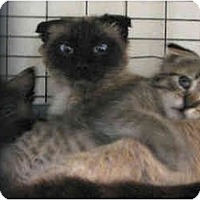 Adopt A Pet :: Scottish Fold Family - Davis, CA