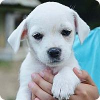 Adopt A Pet :: Luke 1 - Brattleboro, VT
