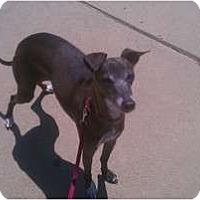 Adopt A Pet :: Chevy -SD - San Diego, CA