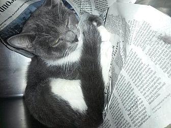 Domestic Shorthair Cat for adoption in Prestonsburg, Kentucky - morris