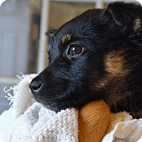 Adopt A Pet :: Colton - Westminster, CO