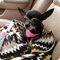 Adopt A Pet :: Renata - Chicago, IL