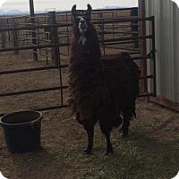 Adopt A Pet :: Sammy the Llama - Boone, CO