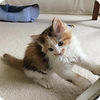 Adopt A Pet :: Marigold - Potomac, MD