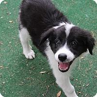 Adopt A Pet :: Seamus - Austin, TX