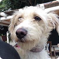 Adopt A Pet :: Penny - Encino, CA