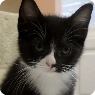 Domestic Shorthair Kitten for adoption in Duluth, Georgia - Juanita
