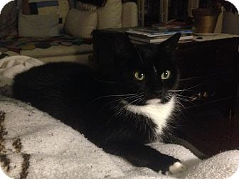 Domestic Shorthair Cat for adoption in Toronto, Ontario - Moosia