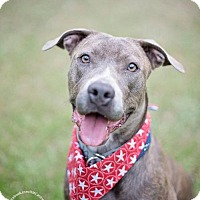 Staffordshire Bull Terrier/Labrador Retriever Mix Dog for adoption in Houston, Texas - Annie Sweet